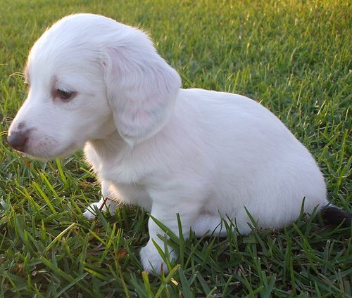 Pup 3 Almost Solid White Dachshund Miniature Akc Female Puppy Blue