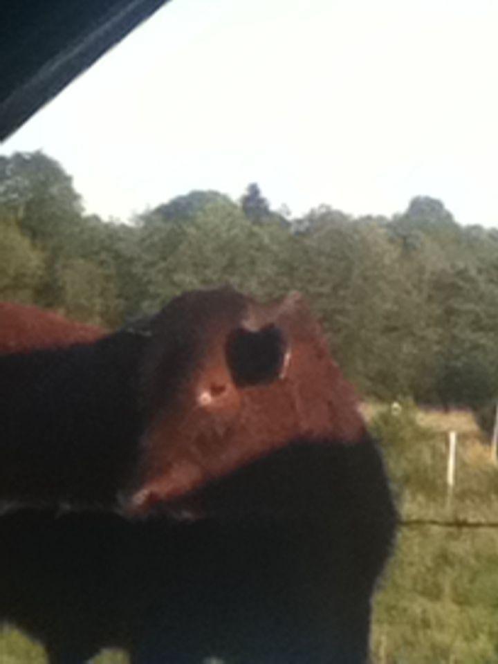 Toro peludo #animales #vacas