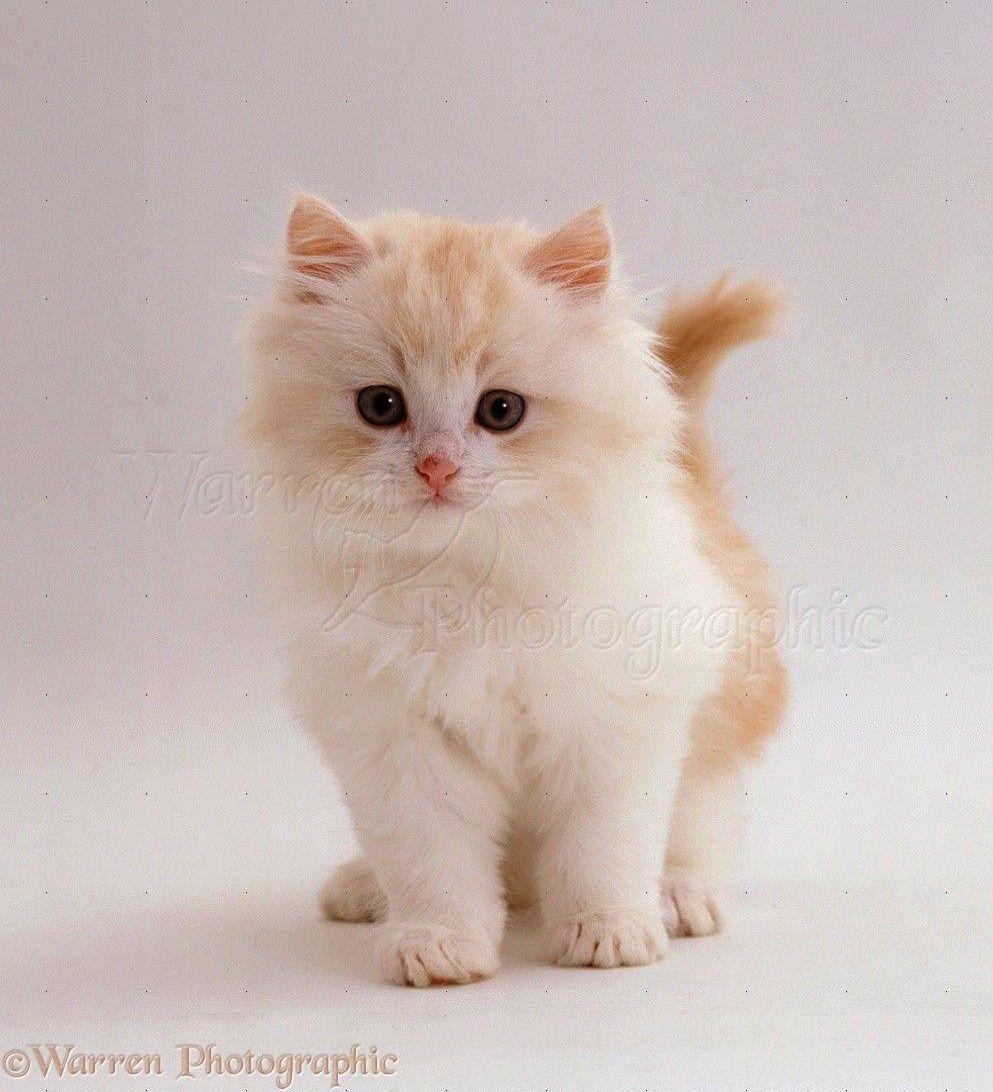 Cats And Kittens Brisbane Cats And Kittens Nottingham White Fluffy Kittens Kittens Cutest Fluffy Kittens