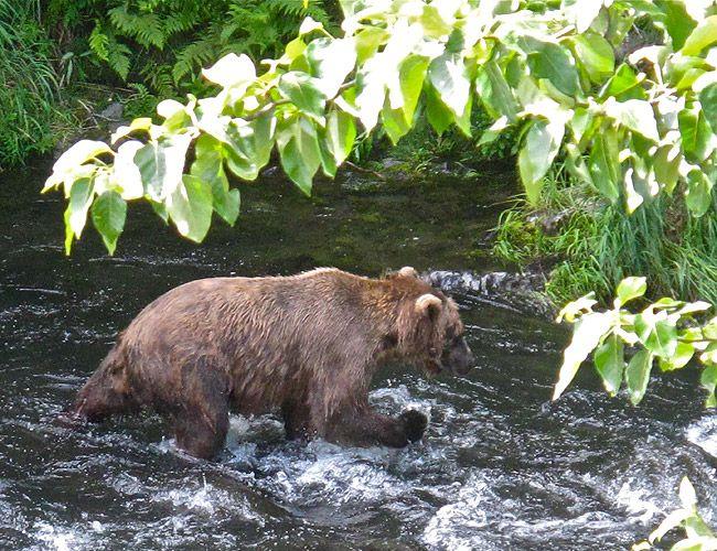 What a treat to see a Brown bear at Russian River Falls #Alaska #Kenai