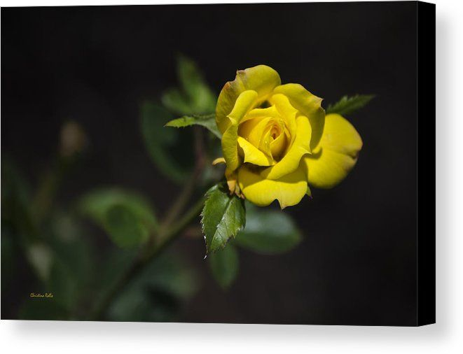 Mystic Yellow Rose Canvas Print by Christina Rollo. All canvas ...