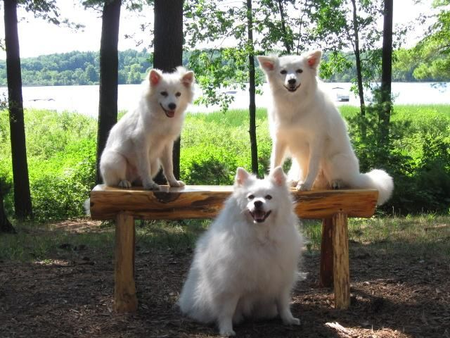 Adopt Foster Homes needed on American eskimo dog, Dog