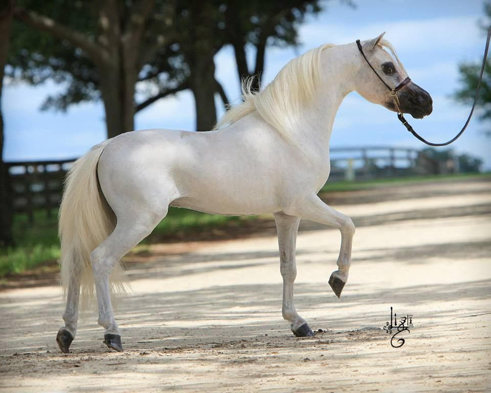 Miniature horse | Horses - Little People | Miniature ...