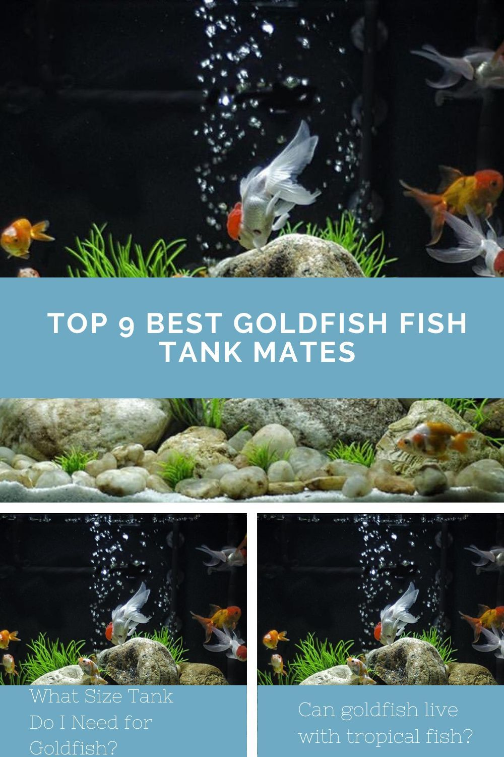 Can Angelfish And Goldfish Live Together