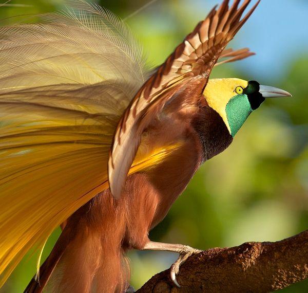 Greater birdofparadise Paradisaea apoda  Paradisaeidae