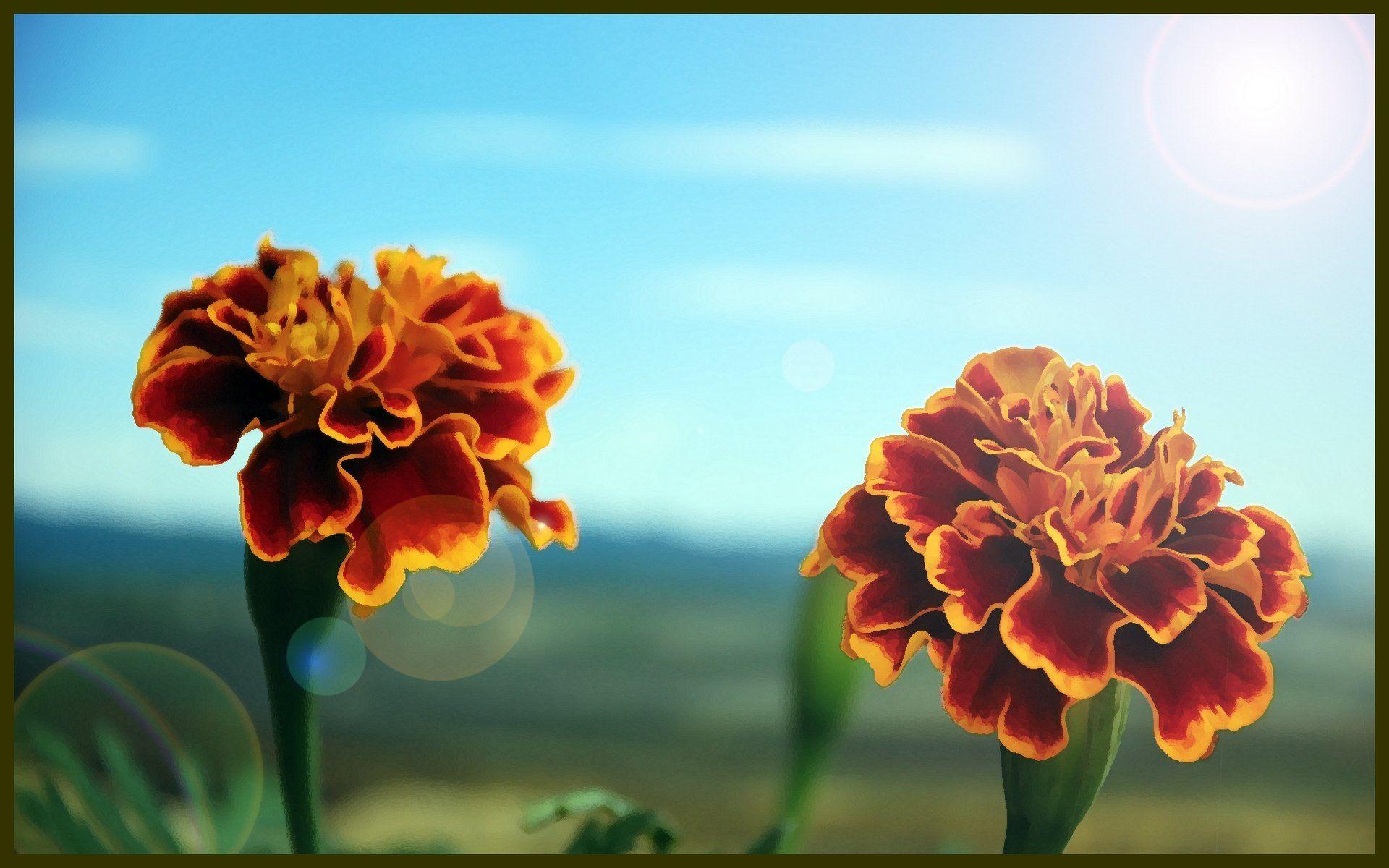 Fonds d'écran Art - Numérique Nature - Fleurs oeillets d'inde