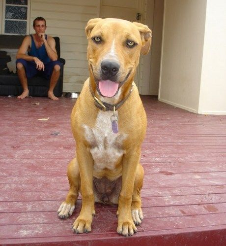 Pitbull Rhodesian Ridgeback Mix Looks Like Ajax Rhodesian