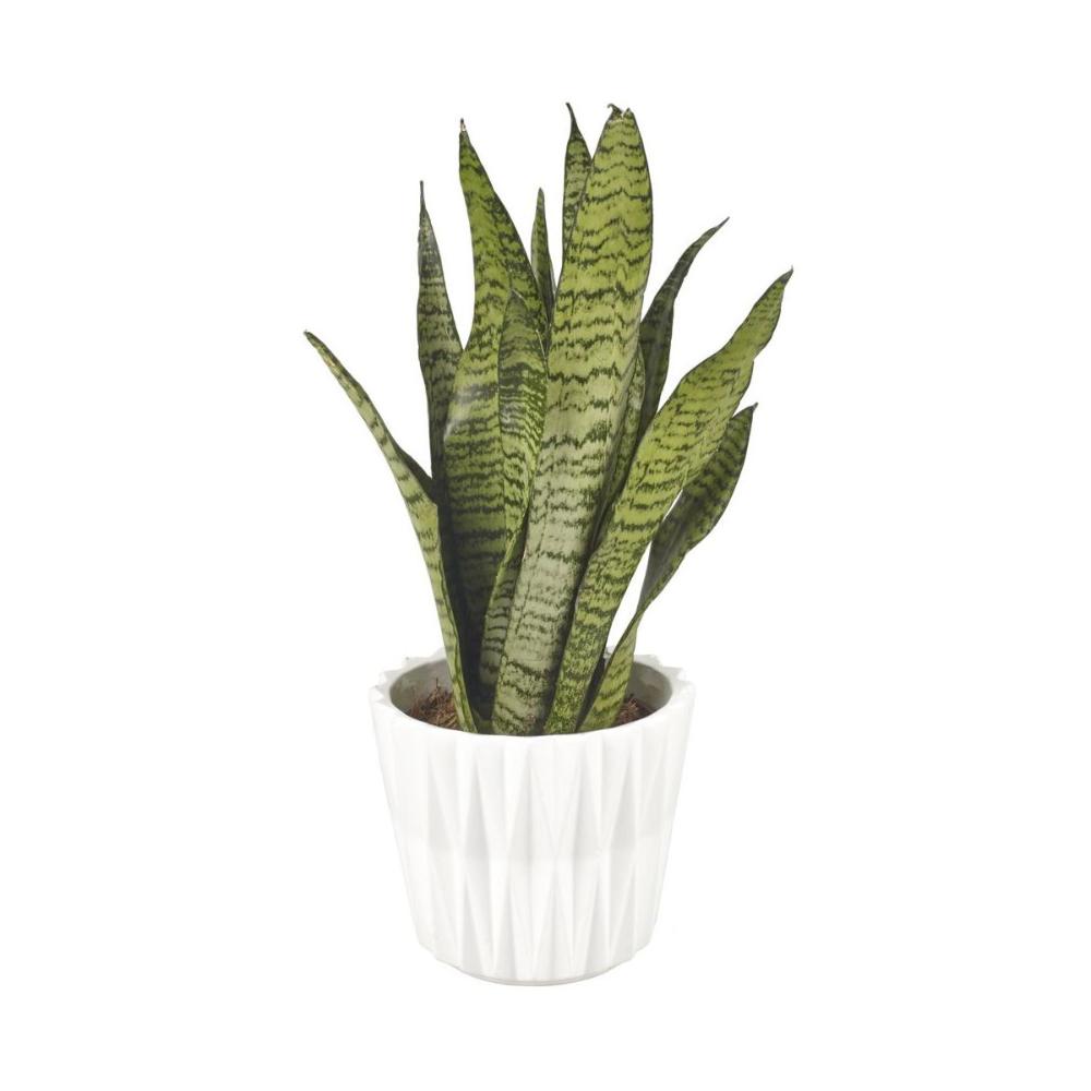 Sansewieria Gwinejska Mix 50 Cm Kwiaty Doniczkowe W Atrakcyjnej Cenie W Sklepach Leroy Merlin Cactus Plants Plants Cactus