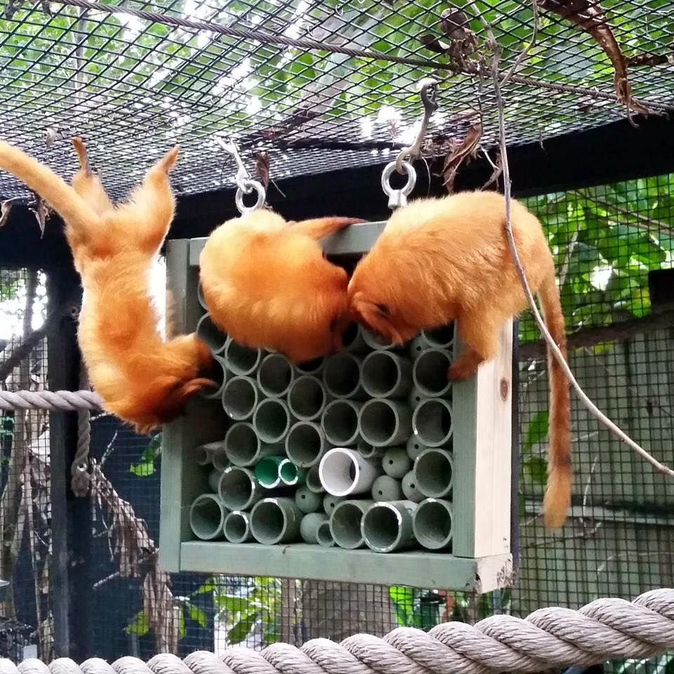 Love the PVC mixed with drilled balls. These are the GLTs at PBZ <3 Joey made this enrichment and probably gave it to them since it is hanging from the ceiling (typical Joseph)