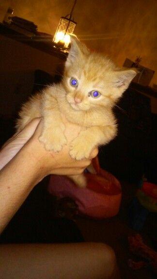 Free Kittens Kansas City Area : kittens, kansas, Kitten, Home., Kansas, Kitten,, Animals,