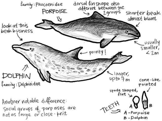 the characteristics of dolphins and porpoises mammals from the group cetacean Learn about the characteristics of cetaceans how they survive in the  cetaceans  - whales, dolphins, and porpoises  fascinating animals, new species are  discovered or populations are  cetaceans are thought to have evolved from  even-toed ungulates (a group that includes cows, camels, and deer.