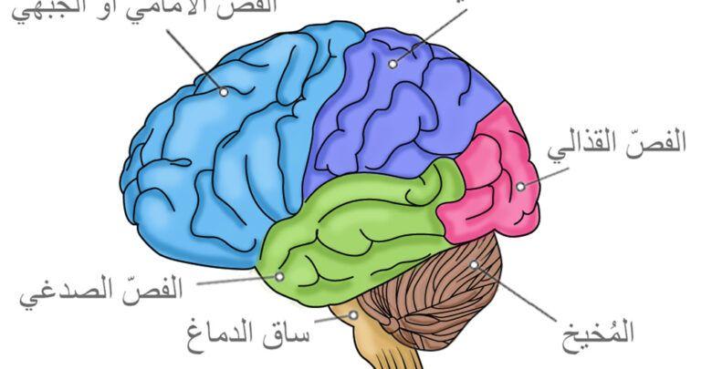 الفرق بين المخ والعقل والدماغ ووظائف كل منهم Smurfs Fictional Characters Character
