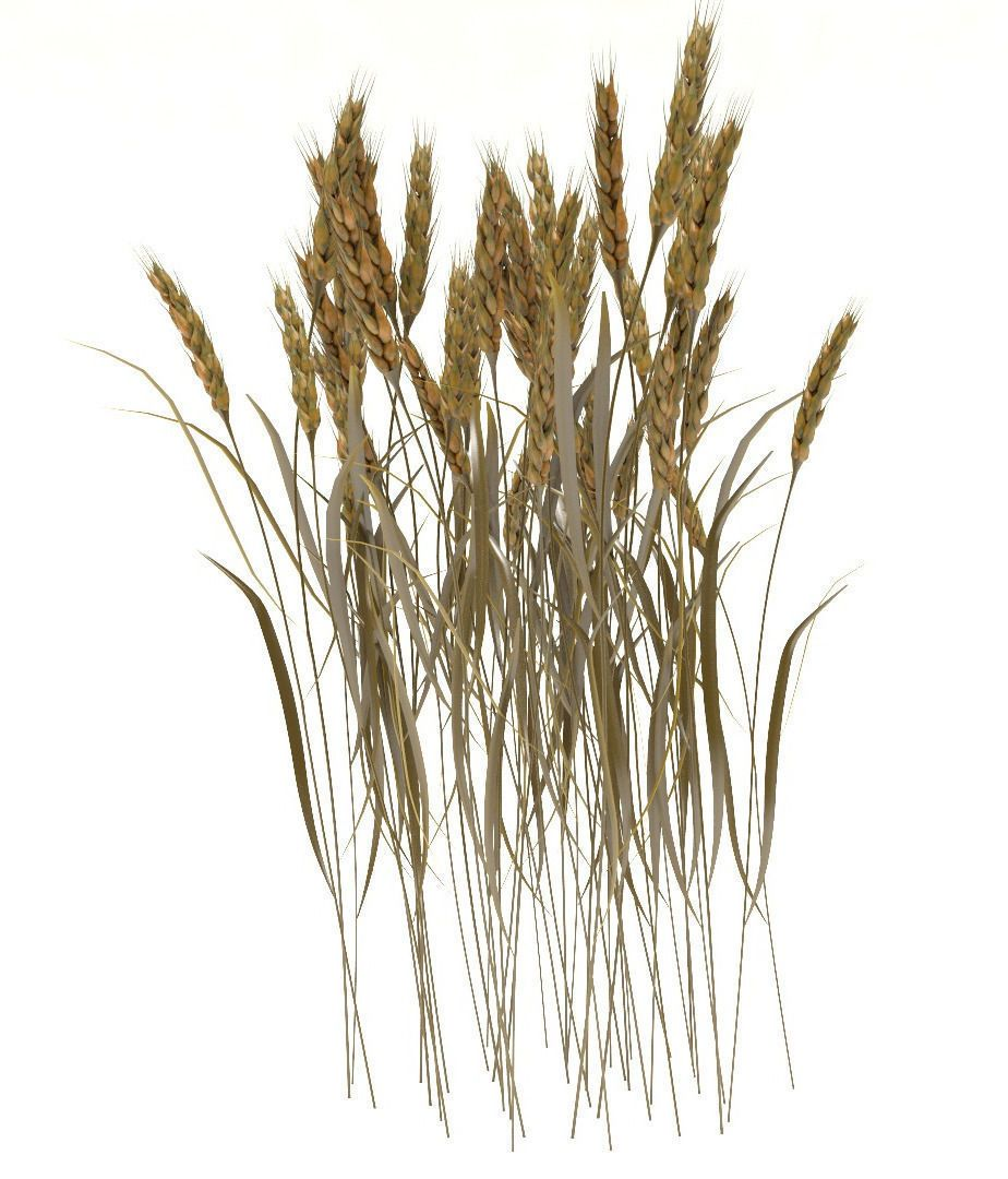 Wheat Stalks By Plc Wheat Stalks 3d Model Contains Group Of 43