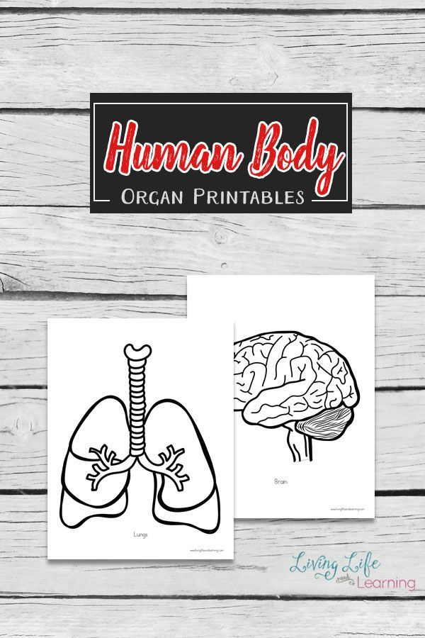 Human Body Organs Printable Coloring Pages | Körper, Schule und ...