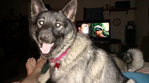 Litter Of 8 Norwegian Elkhound Puppies For Sale In Oklahoma City