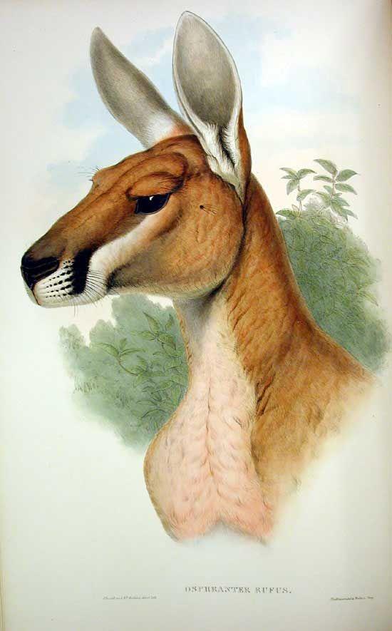 Pingl par no karuna sur animales pinterest - Dessiner un kangourou ...