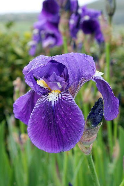 my mother's garden iris