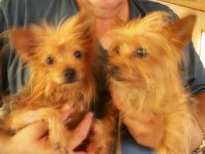 Bella And Bogie Is An Adoptable Yorkshire Terrier Yorkie Dog In Paragould Ar Bella And Bogie Are 4 Year Ol Yorkie Dogs Yorkshire Terrier Dog Dogs And Puppies
