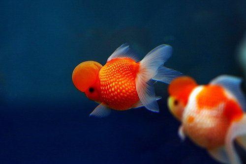 Pearlscale Goldfish Goldfish Goldfish Species Fantail Goldfish