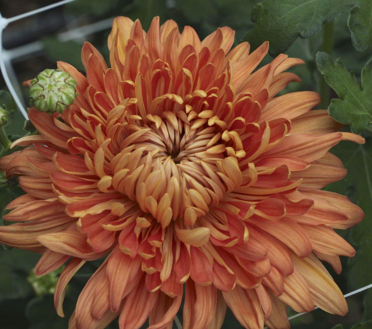 Chrysanthemum Apricot Courtier Garden Flower Beds Chrysanthemum Flora Flowers