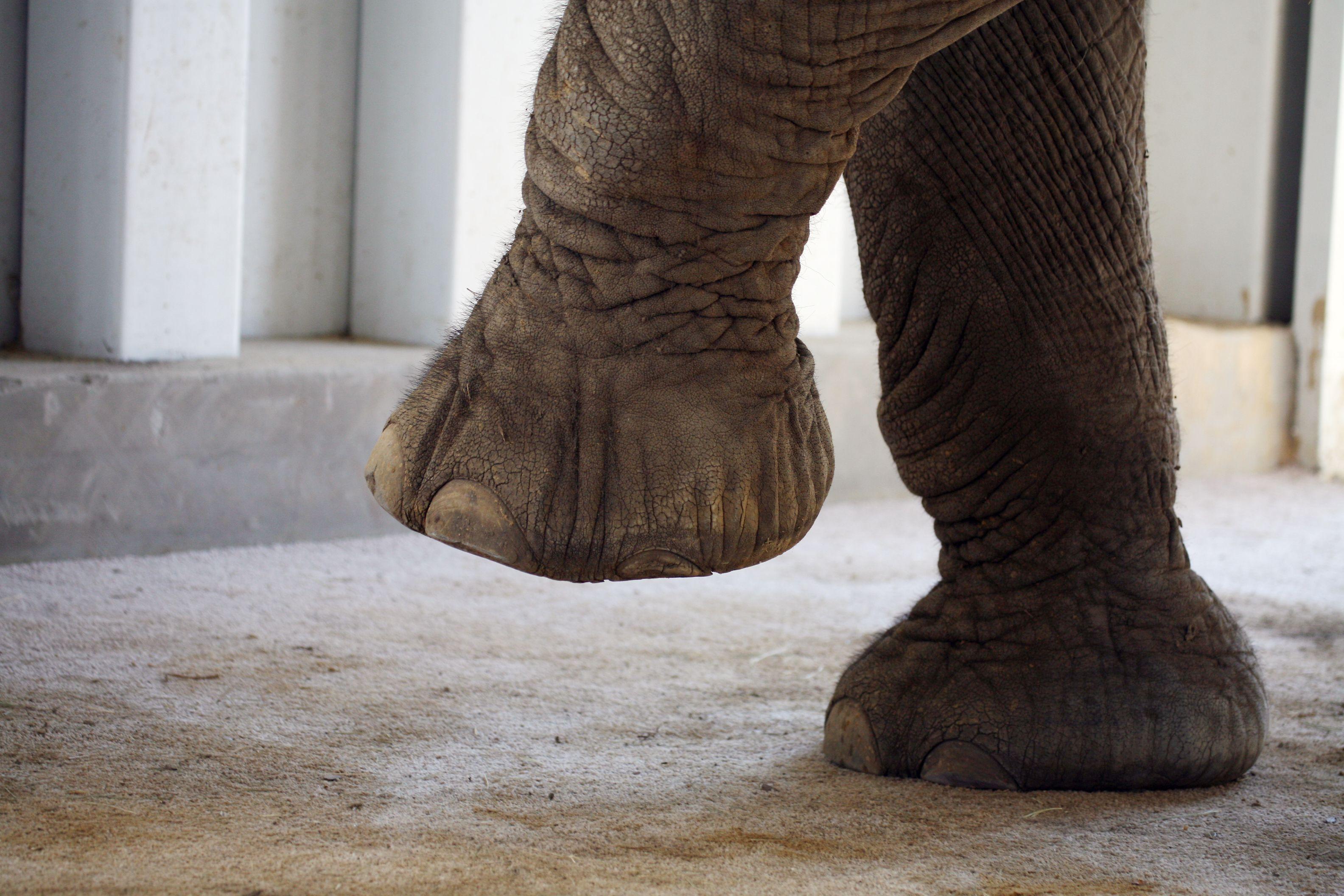 Картинка нога слона