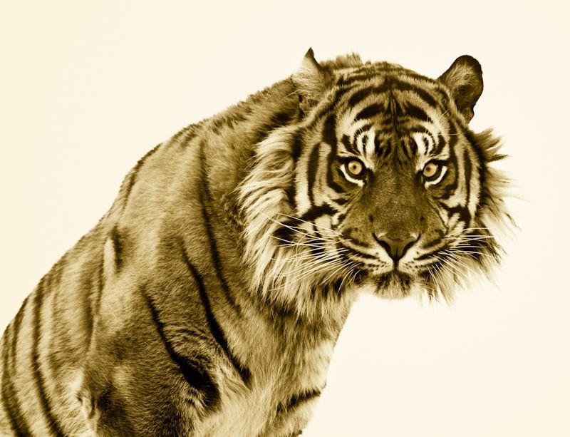 Google Image Result for http://d4k7s9ho8qact.cloudfront.net/wp-content/uploads/2012/06/Tiger-Nature-Reserve-UK-%25C2%25A9-Roger-Hooper-3.jpg%3F9d7bd4