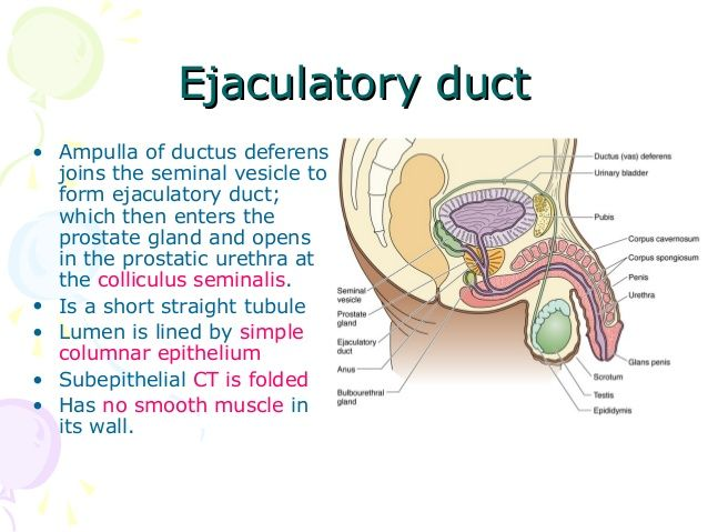 Ejaculatory Duct Duct Bladder Pbis