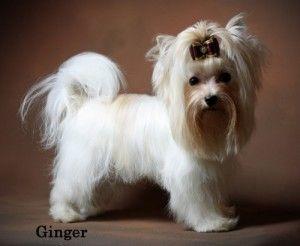 Yorkshire Terrier Yorkshire Terrier Puppies Yorkie Puppy Yorkshire Terrier Dog