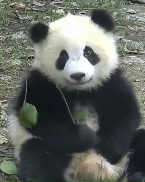 when a panda got a cat teaser when a panda got a cat teaser