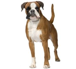 Compare Boxer Pet Insurance Plans And Quotes Most Popular Dog Breeds Guide Dog Pet Insurance