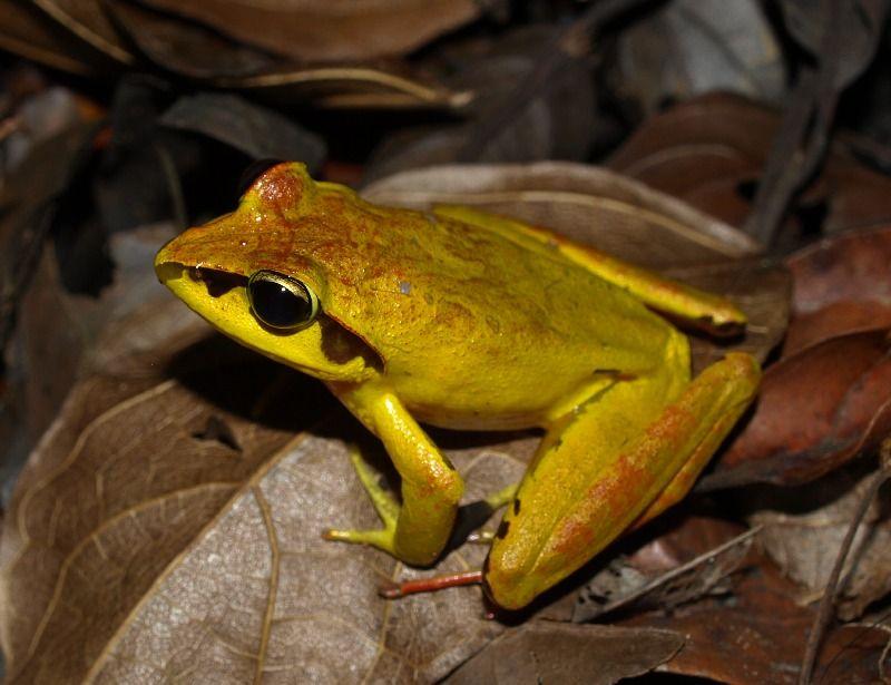 """Résultat de recherche d'images pour """"aglyptodactylus ..."""