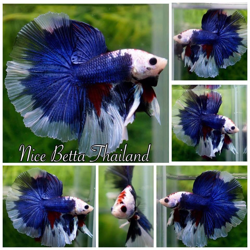 fwbettashm1495487593 - HM Fancy Dragon multi color | Beautiful Betta ...