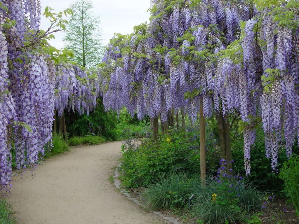 Wisteria Floribunda Japanese Wisteria World Of Flowering Plants Wisteria Tree Garden Vines Bonsai Tree