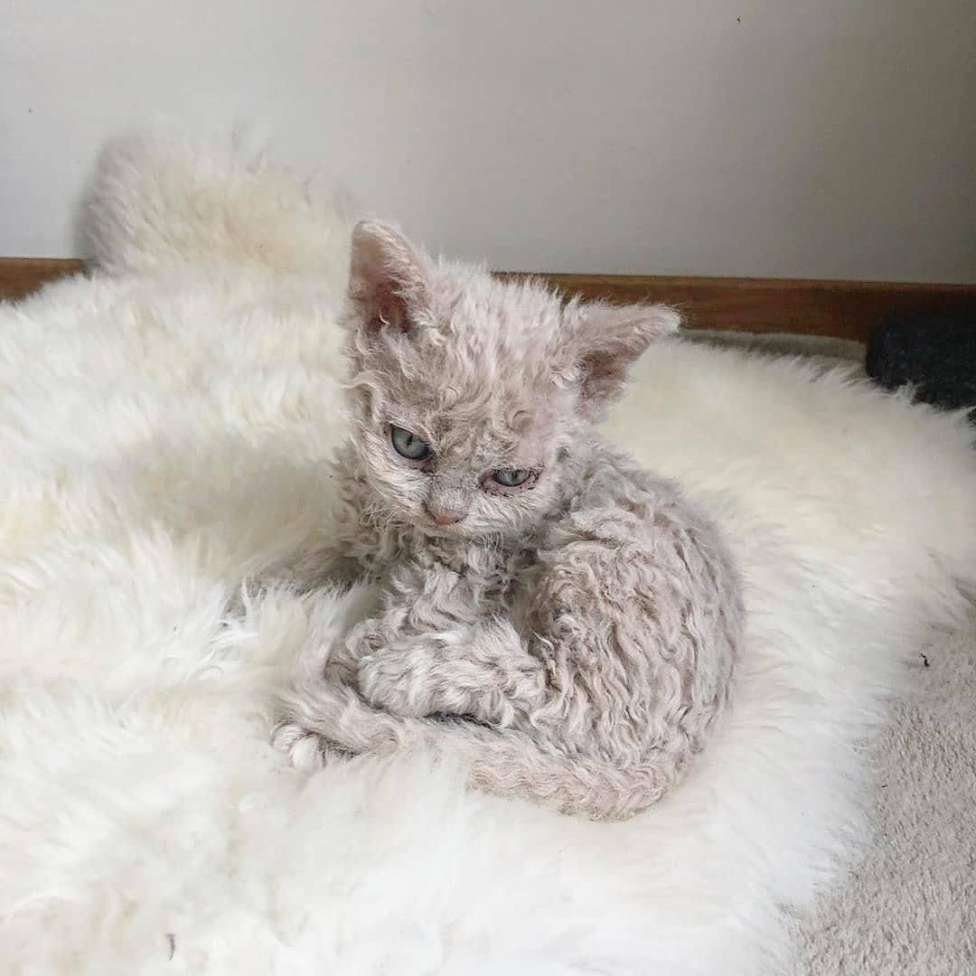 A Curly Haired Kittenhttps I Redd It Tucil4aqsf951 Jpg In 2020 Rex Cat Cats And Kittens Selkirk Rex Kittens