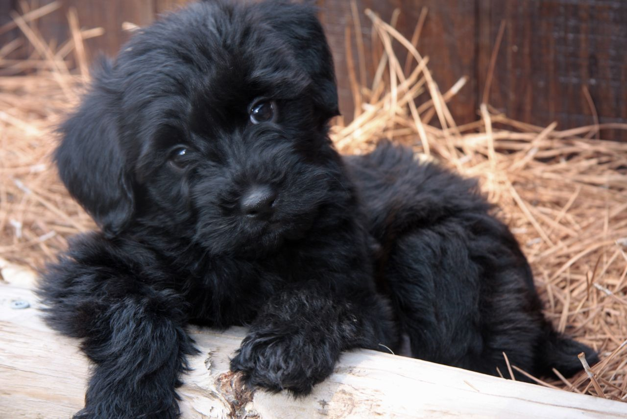 Black Yorkie Poo Google Search Daisy Lookalikes Pinterest