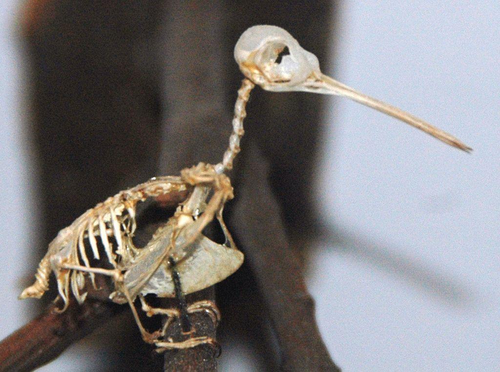 Archilochus colubris (rubythroated hummingbird) skeleton