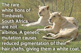 White Lion Facts - http://theturbulencetraining.com/white-lion-facts.html