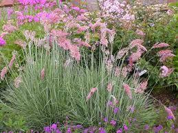 Melinus Nerviglumis 'Savannah' (ANNUAL) -- Elana loved this grass at Norenberg garden
