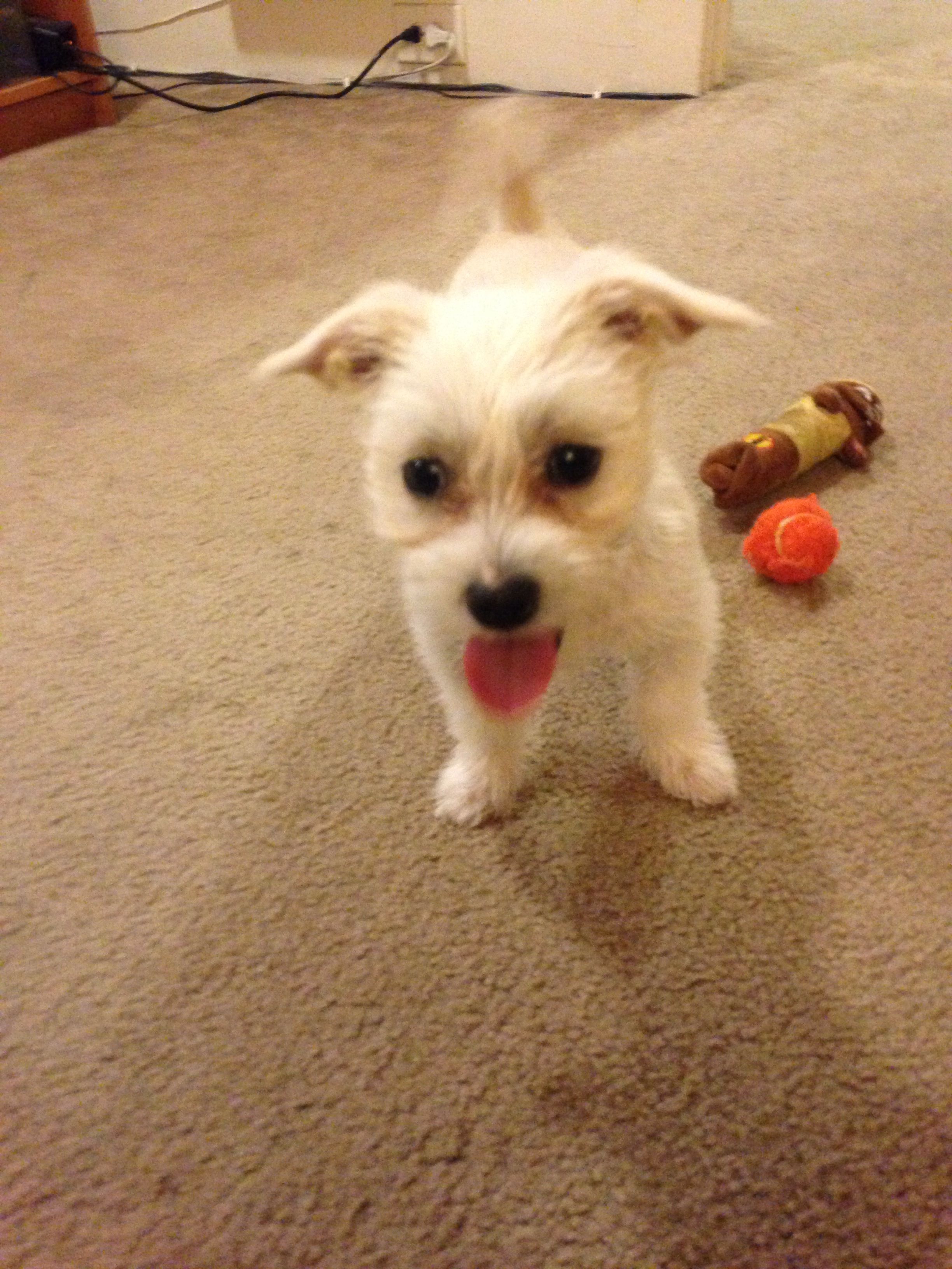 The newest addition to our family! Sammi! She's a llasa apso and yorkie...
