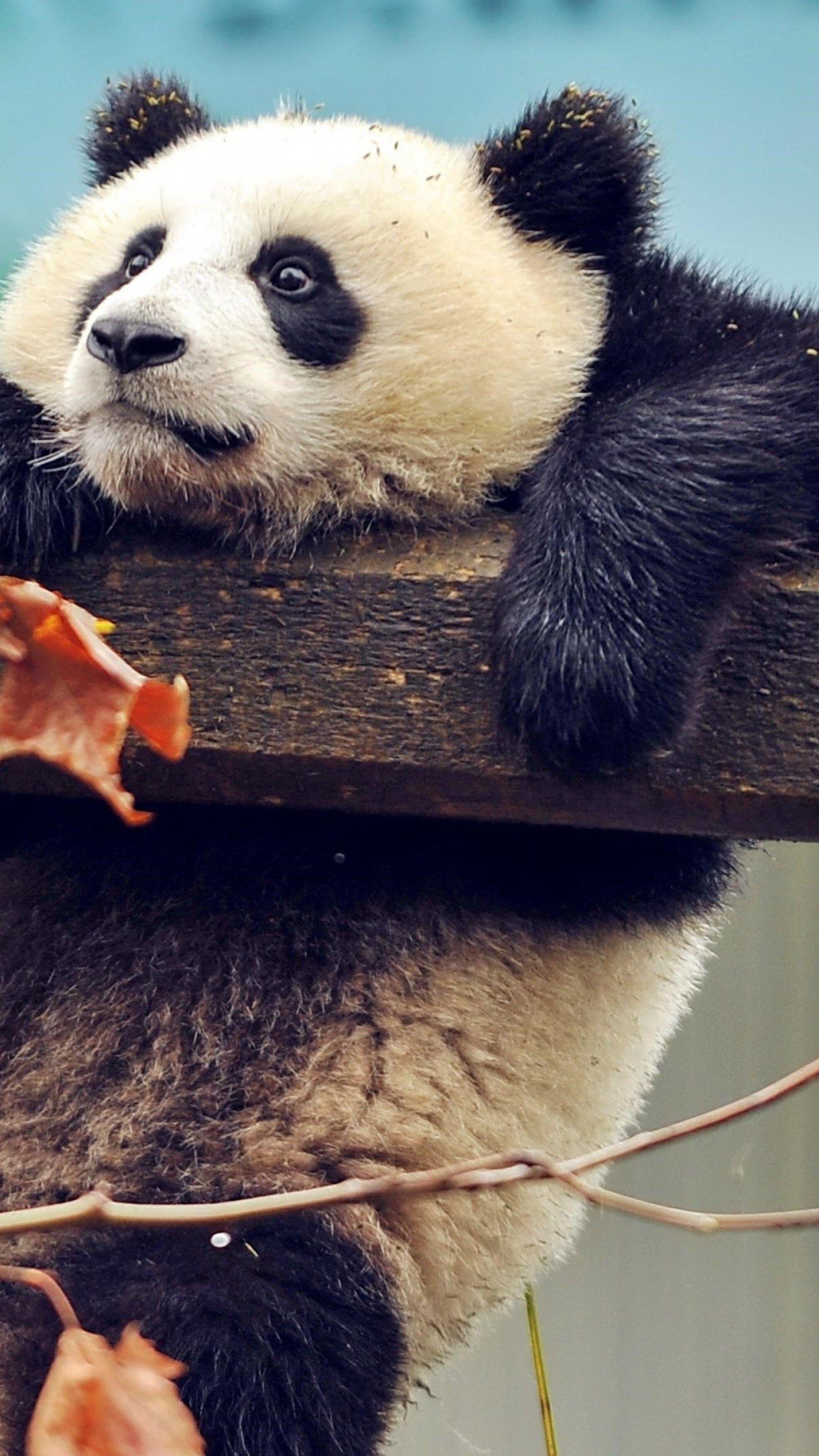 Animals Cute Panda Wallpapers Cute Panda Wallpaper Panda Wallpapers Animal Wallpaper