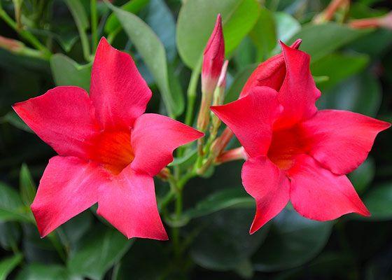 Rio dipladenia flowers