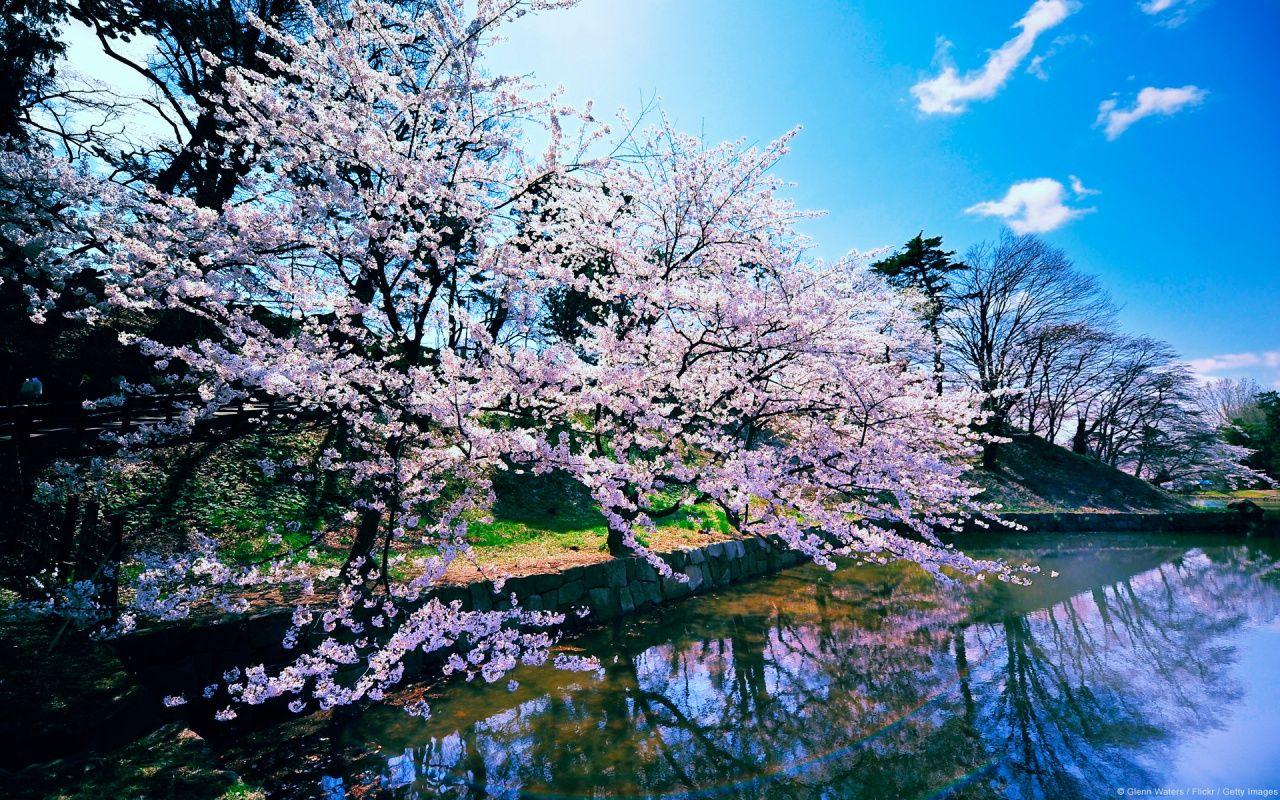 Cherry Blossom Trees Bloesembomen Natuur Behang Bloem Behang