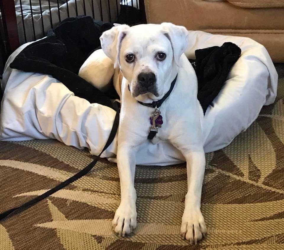 Boxer dog for Adoption in Battle Ground, WA. ADN826763 on