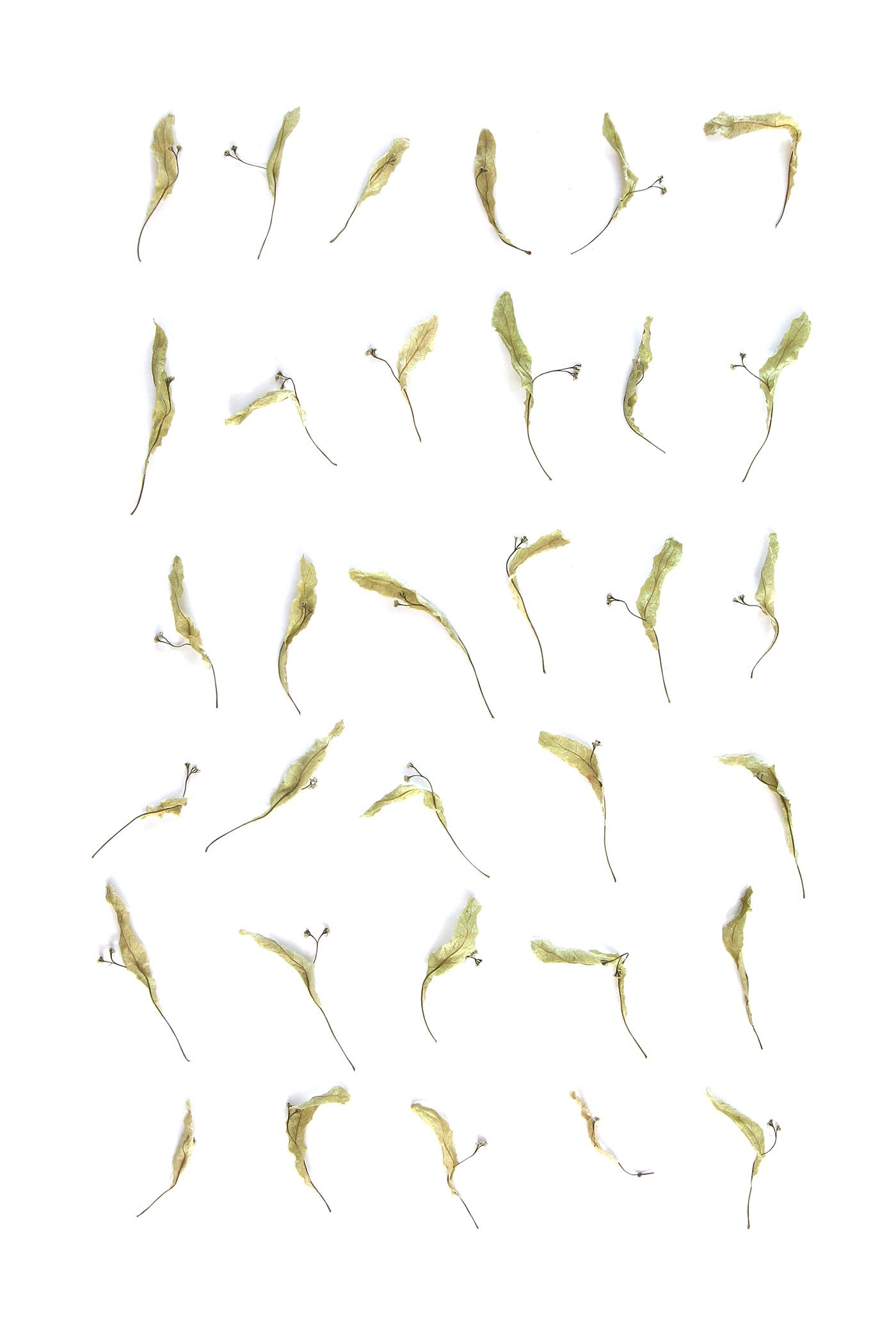 linden bracts (mary jo hoffman)