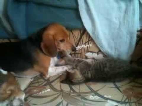 Most Inspiring Video Beagle Adorable Dog - 5cc9097c974b4379948914bcc4b697b6  Picture_343818  .jpg