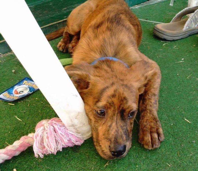Adopt Reese on Rescue dogs, Boxer mix, Adoption