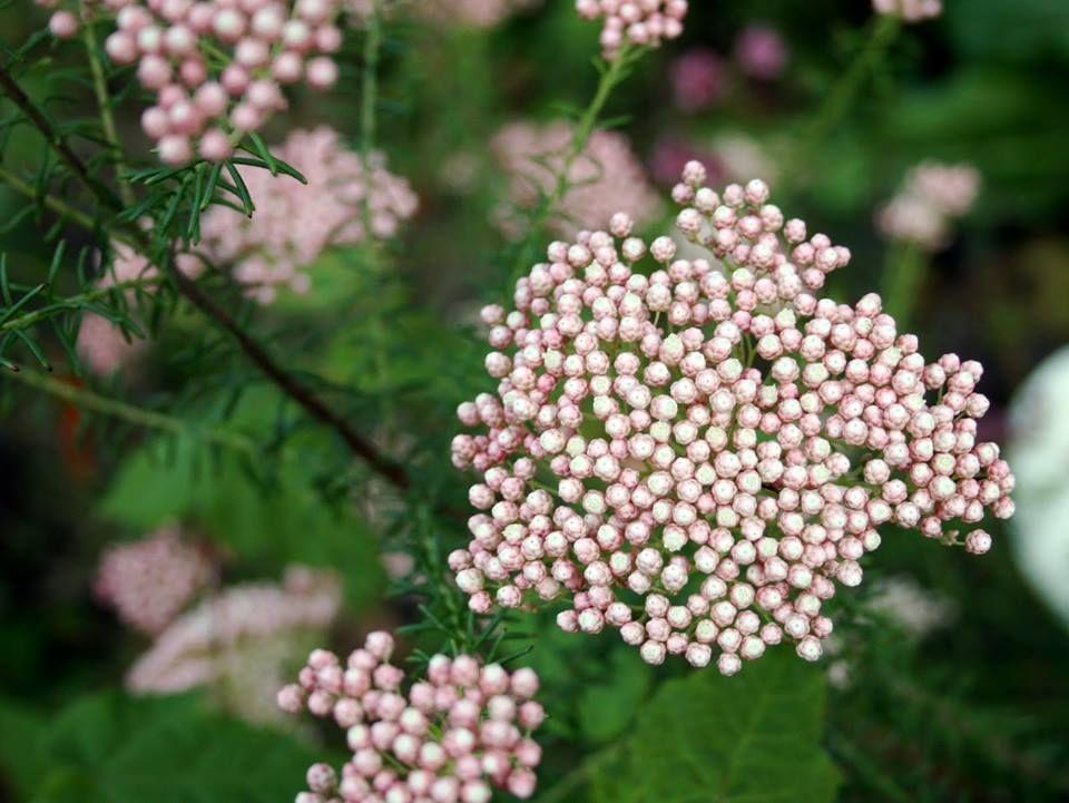 Pimelea ferruginea pink rice flower iekler flowers pimelea ferruginea pink rice flower mightylinksfo