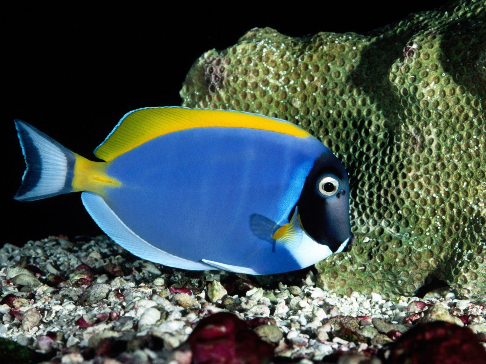 Pin By Nina S Animal Pictures 2 On Blue Tropical Fish Pictures Tropical Fish Fish