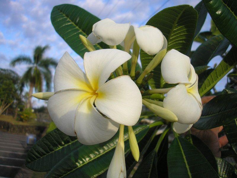 Free plant identification white flowering plants