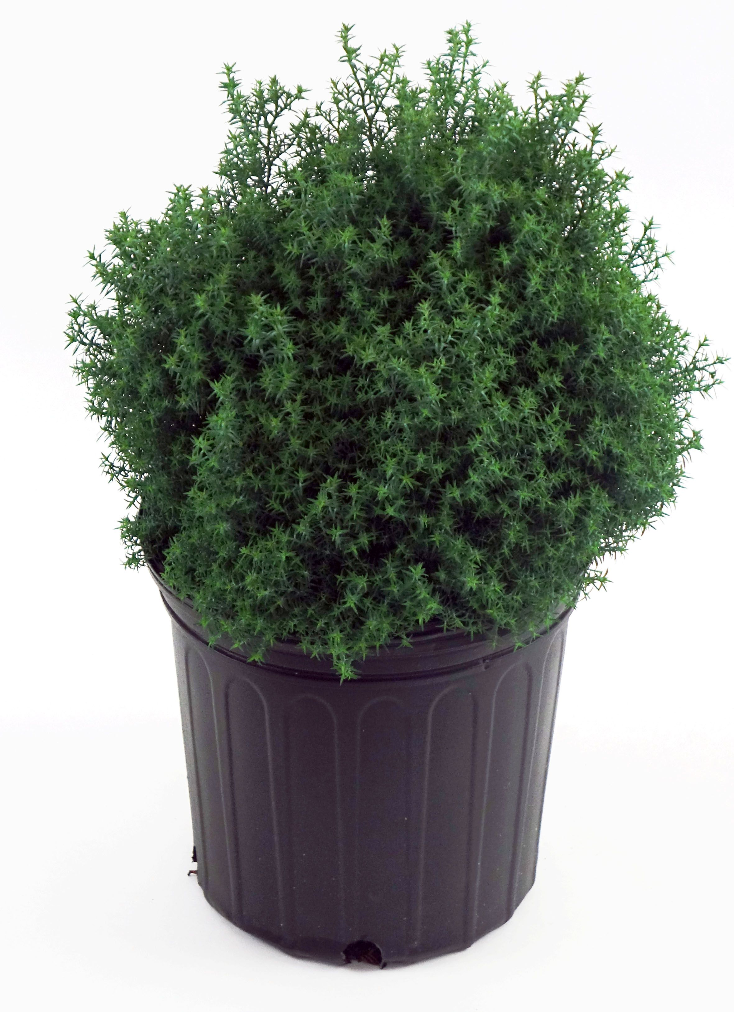 Pin On Evergreen Plants To Buy